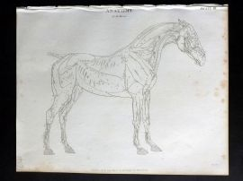 Rees 1820 Antique Print. Anatomy of the Horse after George Stubbs 03